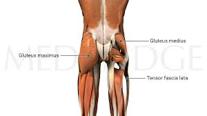 Unsung Hero of the Musculoskeletal System: Gluteus Medius